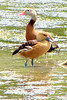 FULVOUS WHISTLING-DUCK (foreground)<br /> & BLACK-BELLIED WHISTLING DUCK<br /> May 2007