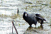 AMERICAN COOT<br /> May 2007