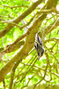 BLACK AND WHITE WARBLER<br /> MAy 2007