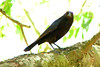 BRONZED COWBIRD<br /> May 2007