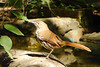 BROWN THRASHER<br /> May 2007
