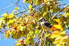 BLUEJAY - Historic Williamsburg - October 2006