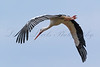 A White Stork (Ciconia ciconia) flies over Lac de Serre Ponçon in the French Alps