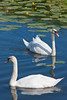 Mute swans (Cygnus olor) among water lilies at Shapwick Heath