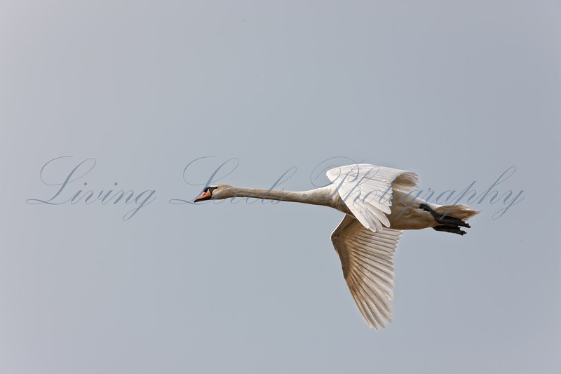 Mute Swan (Cygnus olor) in flight at Shapwick Heath