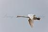 Mute Swan (Cygnus olor) in flight at Shapwick Heath