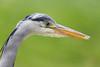 A Grey Heron (Ardea cinerea)  stalks fish in a pond at Cliveden gardens