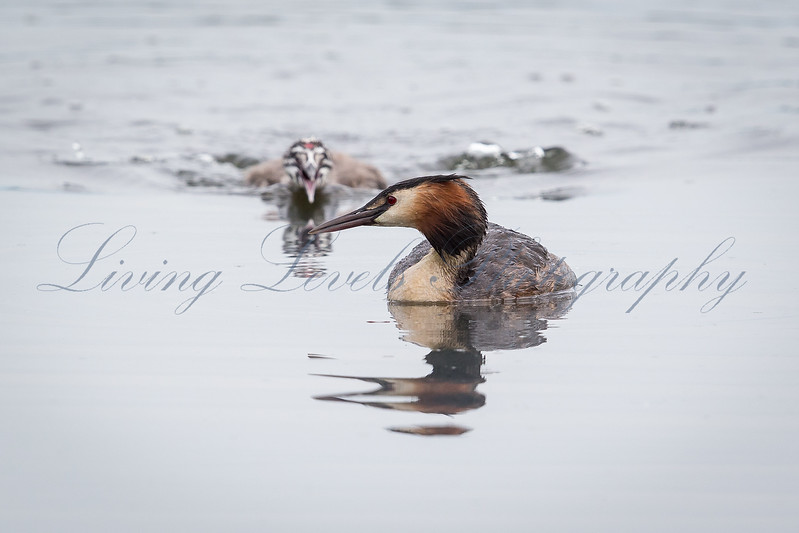 At Ham Wall Reserve a young great crested grebe pursues its parent