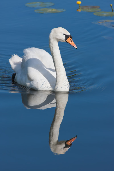 Mute Swan (Cygnus olor)  at Shapwick Heath