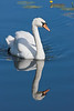 Mute Swan (Cygnus olor)  at Shapwick Heath