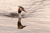 Greater Crested Grebe (Podiceps cristatus) at Ham Wall nature reserve