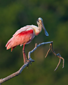 Roseated Spoonbill, High Island, Texas