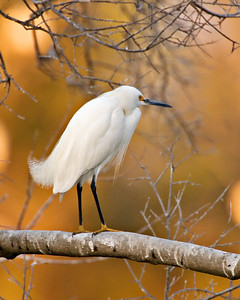 Snowy Egret - Sunset - Clay Bottom Pond Rookery - High Island, Texas