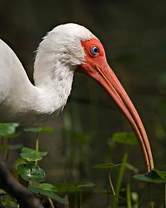 White Ibis - Brazos Bend State Park, Texas