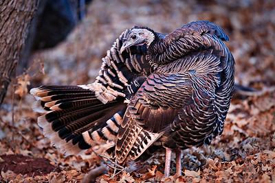 Wild Turkey, Zion NP, Utah