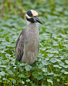 Yellow Crowned Night Heron - Nyctanassa violacea - Brazos Bend State Park, Texas
