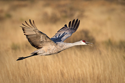 Sandhill Crane - Morning Flight - Bosque del Apache, north ponds - New Mexico - Nov, 2008