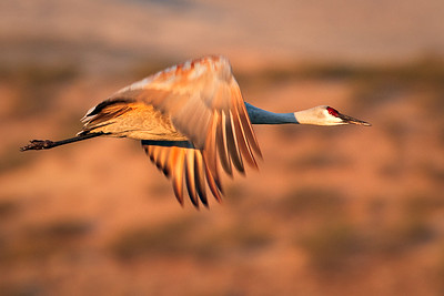 Sandhill Crane - Golden Light - Bosque del Apache, north ponds morning - New Mexico - Nov, 2008