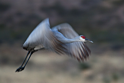Sandhill Crane - Morning Flight -Bosque del Apache, NM - Nov, 2008
