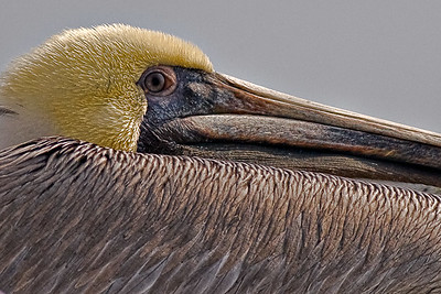 Brown Pelican from the Bolivar Ferry Galveston, Texas