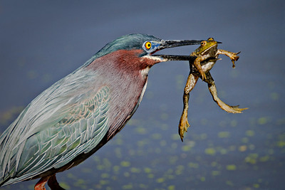 "Green Heron & Frog - ""Texas Hospitality"" Brazos Bend State Park, Texas"