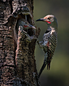 Lunch time Woodpecker - Northern Flicker - June Beaver Meadow, Rocky Mtn. Natinal Park, CO
