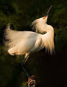 "Snowy Egret - Mating Display - June, 2006 - High Island, Texas ""Still Looking for Love..."""