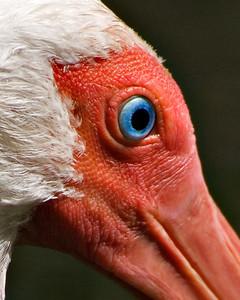 White Ibis - closeup - Brazos Bend State Park, Texas