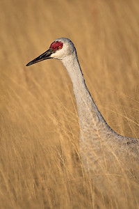 Morning walk in the high grass Sandhill Crane, Bosque del Apache, New Mexico