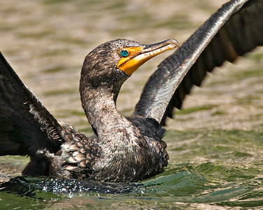 Neotropical Cormorant - Westlake Park, Houston, Texas