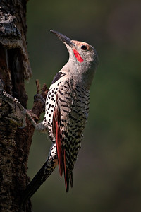 Woodpecker - Northern Flicker - June Beaver Meadow, Rocky Mtn. Natinal Park, CO