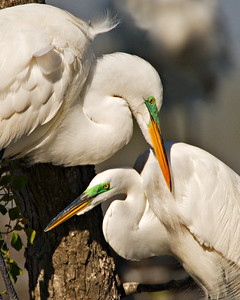Great Egrets - Mating Plumage - Clay Bottom Pond Rookery - March 2006 - High Island, Texas