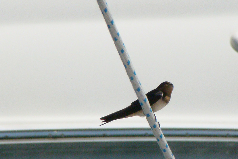 Barn Swallow - Milwaukee - August 2010