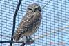 BURROWING OWL - Phoenix Arizona Zoo - May 2008