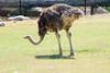 OSTRICH - Phoenix Arizona Zoo - May 2008