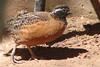 MASKED (SOUTHWEST) BOBWHITE - Phoenix Arizona Zoo - May 2008