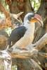 VON DER DECKEN'S HORNBILL - Phoenix Arizona Zoo - May 2008