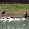 Geese at Cameron Lake