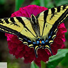 Swallowtail butterfly on zinnia at Ft. Vancouver garden - 103