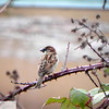Sparrow on blackberry bush - 45