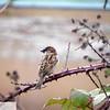 Sparrow on blackberry bush - 45