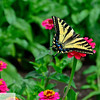 Swallowtail butterfly on zinnia at Ft. Vancouver garden - 100