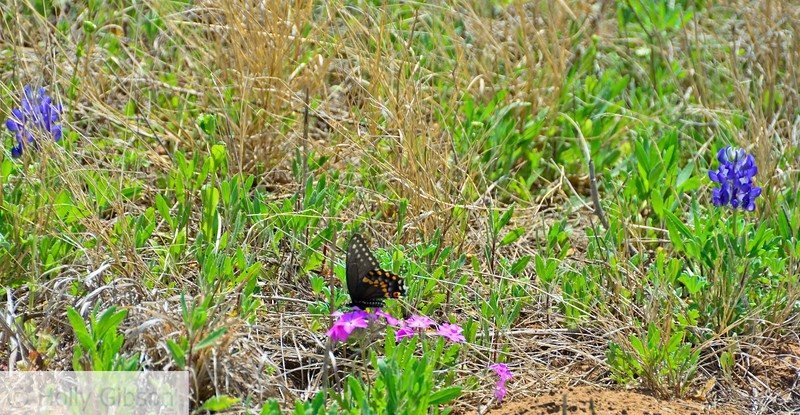 Butterfly and wild verbena - Texas hill country - 92