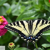Swallowtail butterfly on zinnia in Ft. Vancouver garden - 101