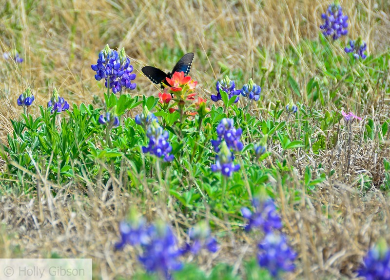 Butterfly and Indian paintbrush - Texas hill country - 93