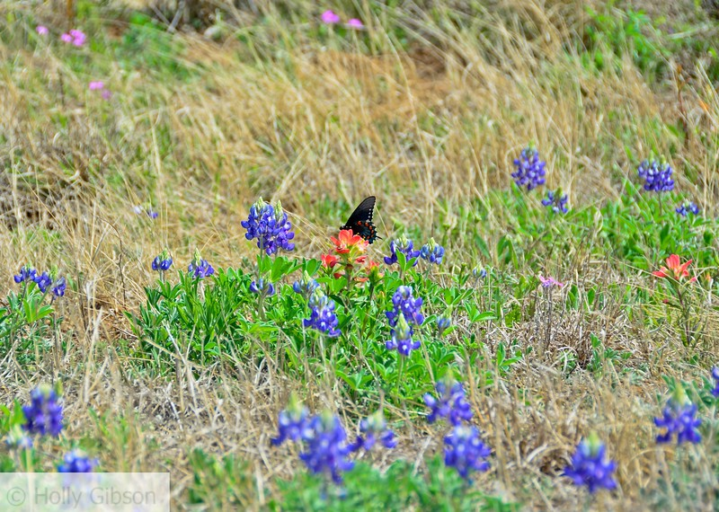 Butterfly on Indian Paintbrush with bluebonnets - Texas hill country - 91