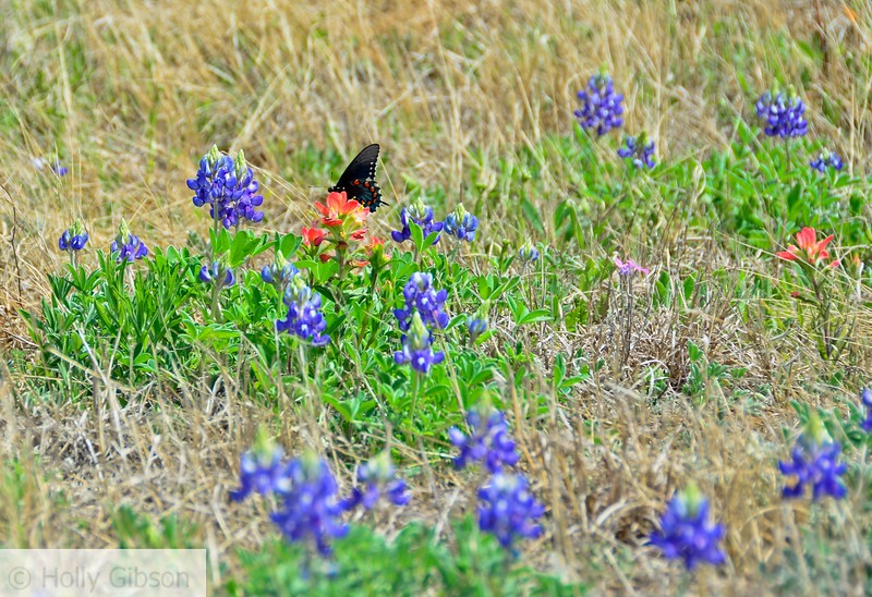 Butterfly on Indian paintbrush - Texas hill country - 90