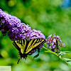 Yellow butterfly on butterfly bush - 87