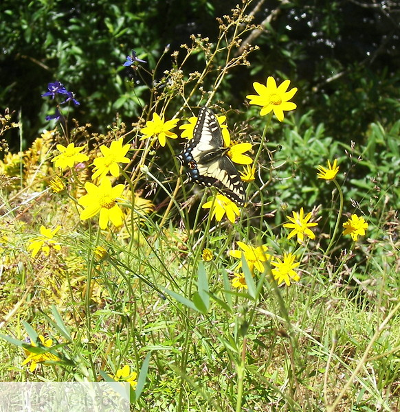 Butterfly and Daisies - 12