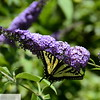 Yellow butterfly on butterfly bush - 86